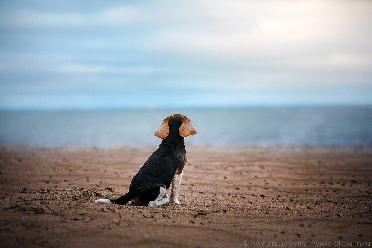 собака, море, бигль, Анна Аверьянова