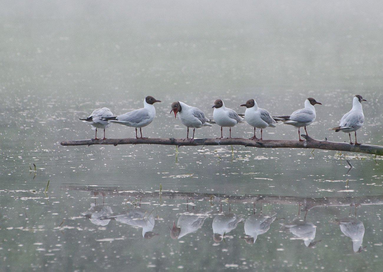 птицы чайки, Михаил Агеев