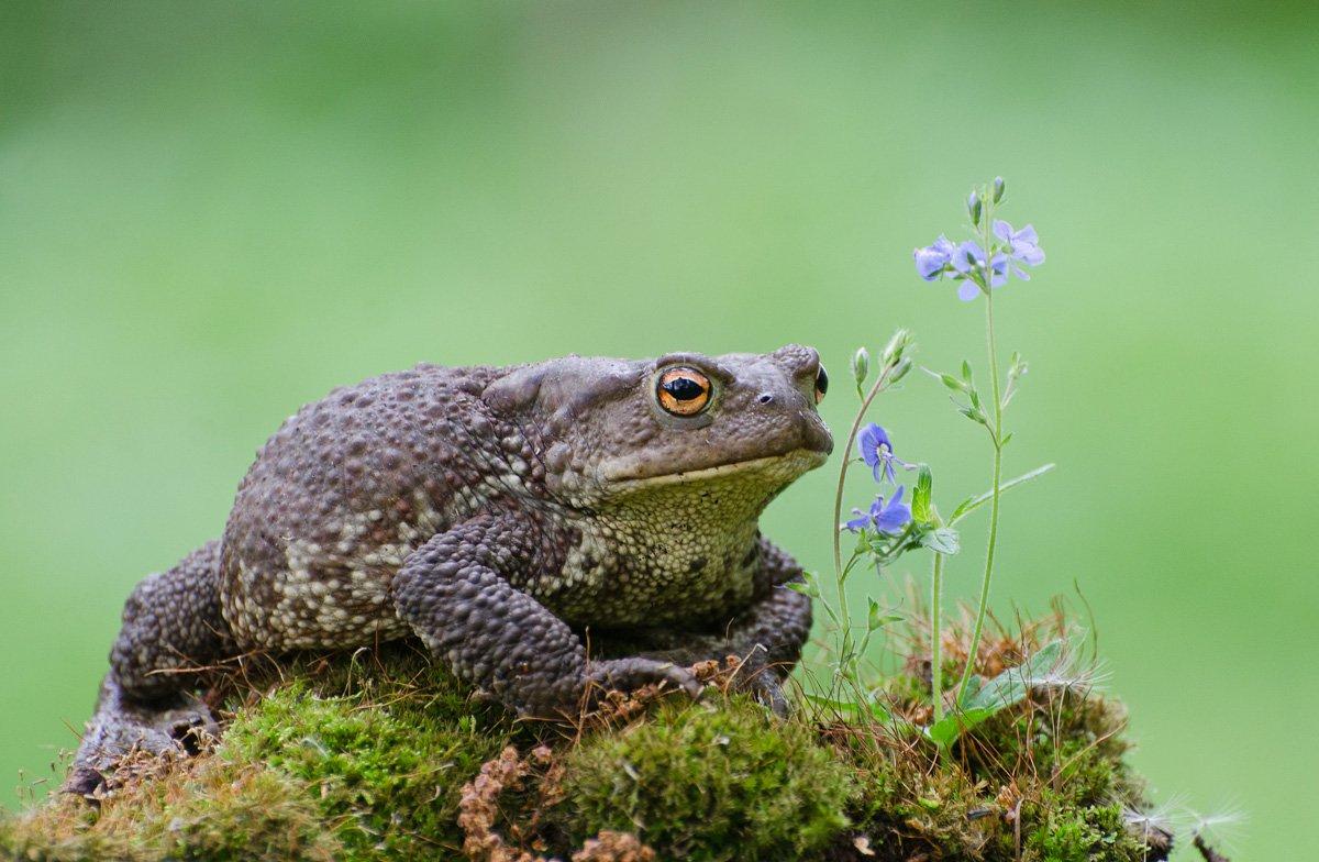 жаба серая, Михаил Агеев