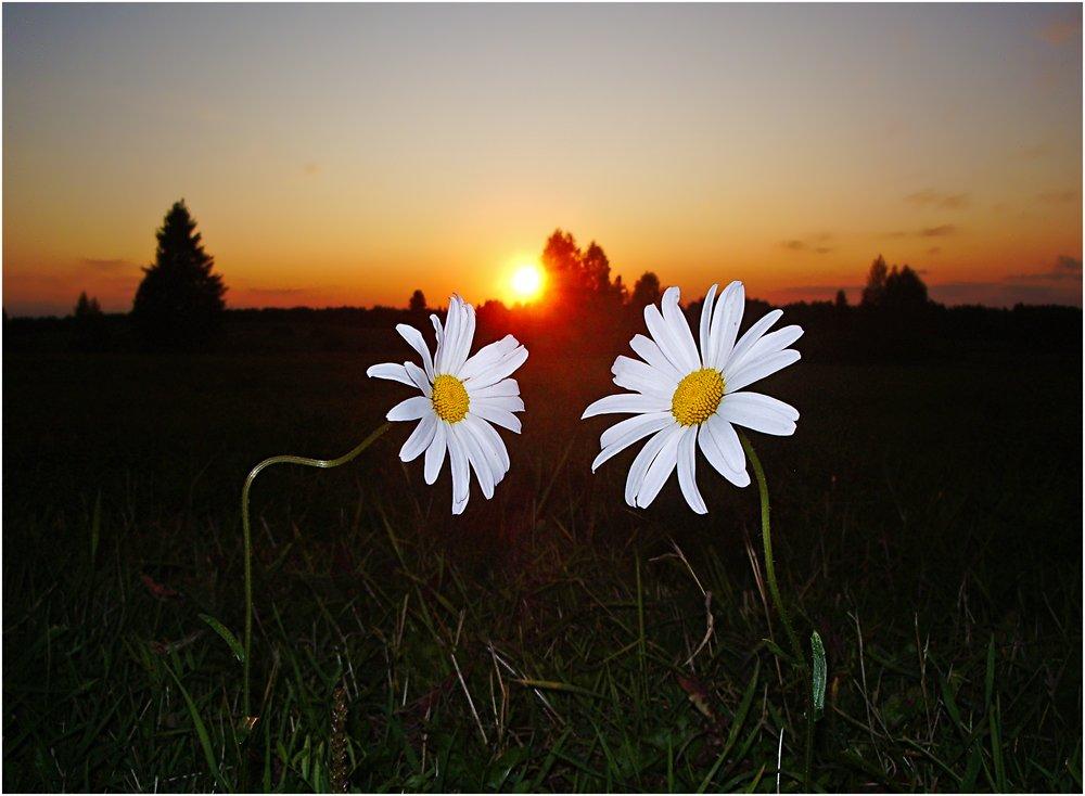 закат,ромашки,влюбленные, Андрей,любитель 35photo