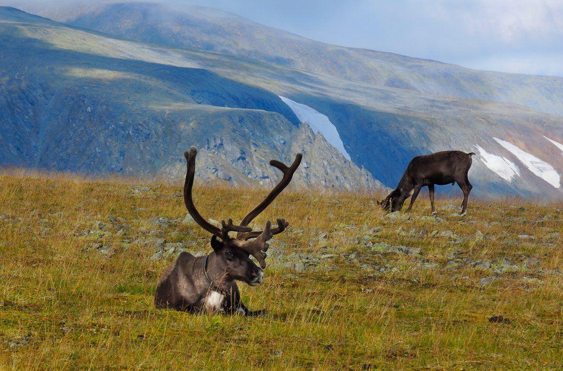 олень,живность,север,горы,урал,deer,livestock,north,mountains,the urals,, Дмитрий Ильин