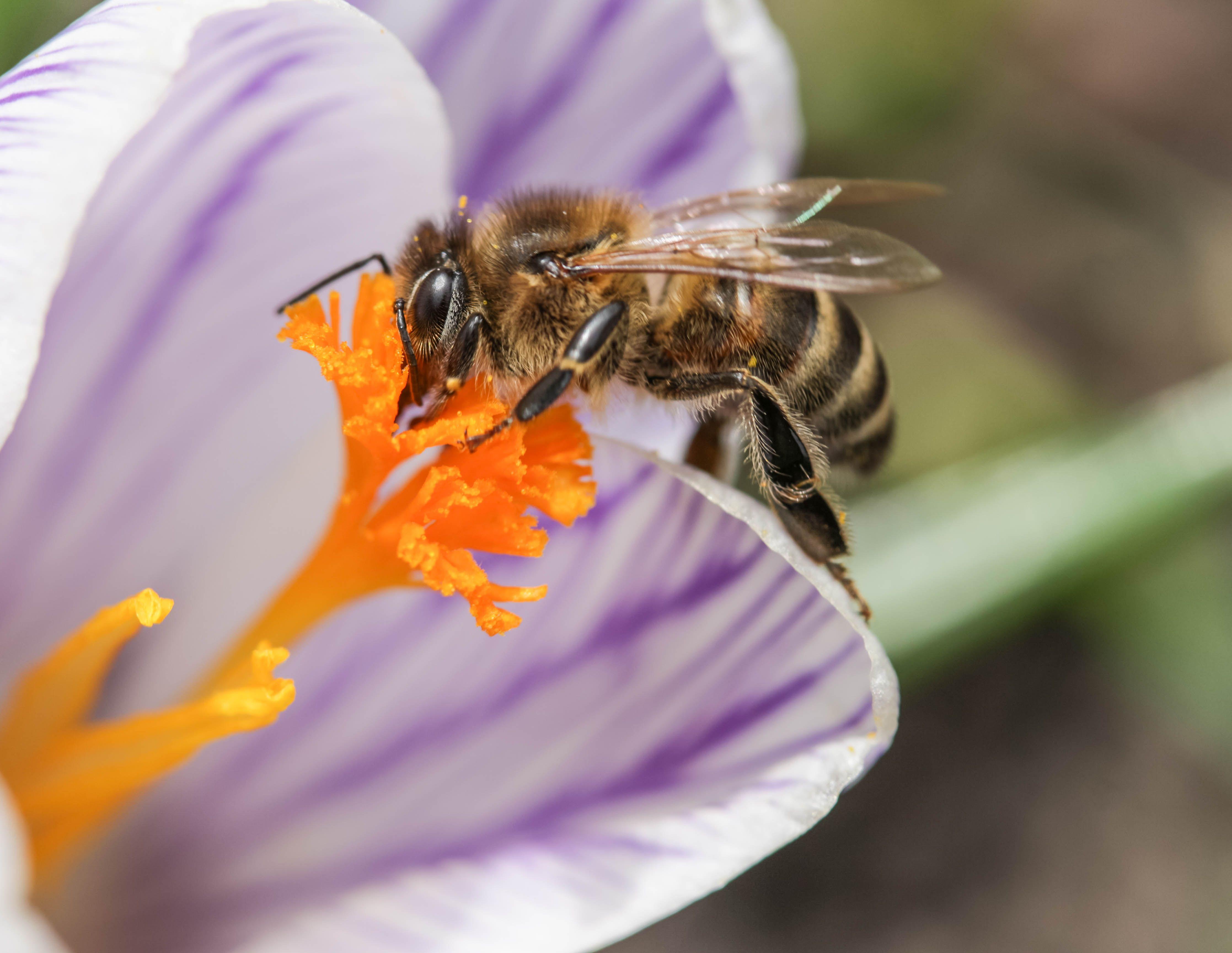 bee, crocus, flower, macro, insect, close up, Bistra Stoimenova