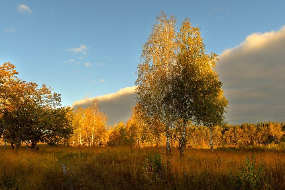 пейзаж,природа,осень,березы,лес,золотая,осень,утро,рассвет,небо,облака, Юлия Лаптева
