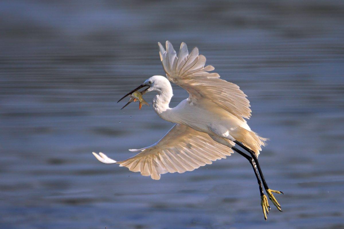 animals,birds,egret, fish,7d,600mm, животные,птицы,рыба, Yuri Gomelsky