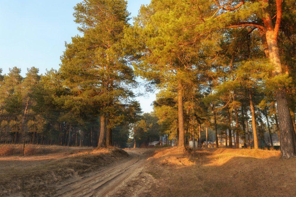 пейзаж,сосны,сосновый бор,природа,дорога,лес,сосны,песок, Юлия Лаптева