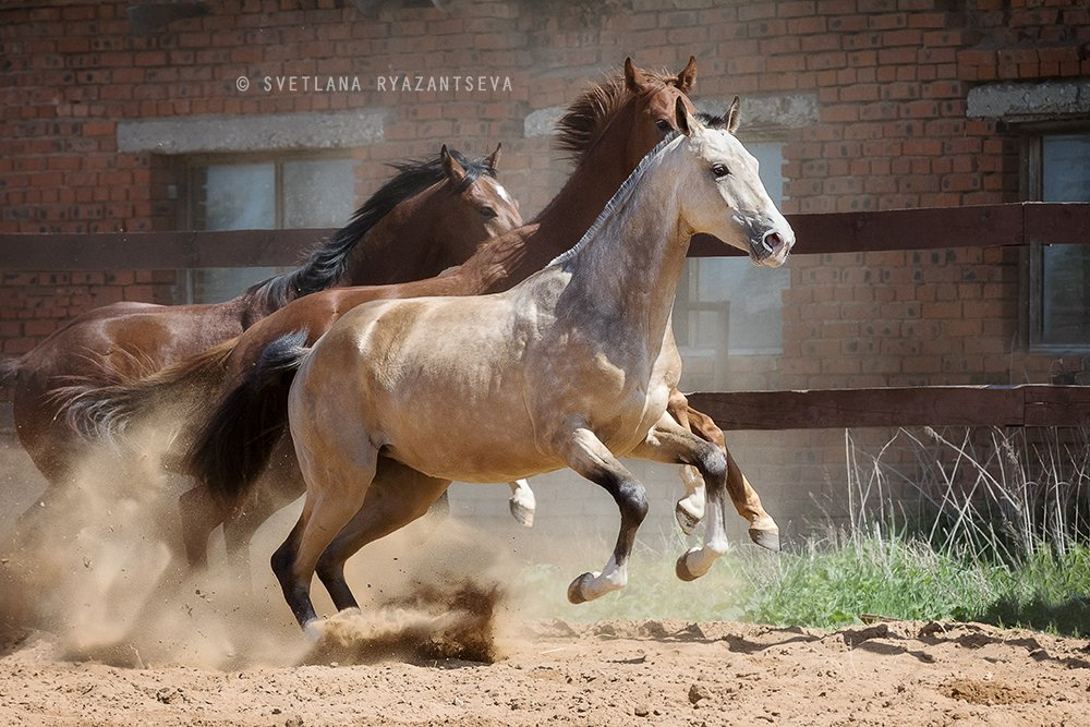 horses, horse, outdoor, motion, gallop, farm, paddock, ranch, лошади, в движении, Svetlana Ryazantseva
