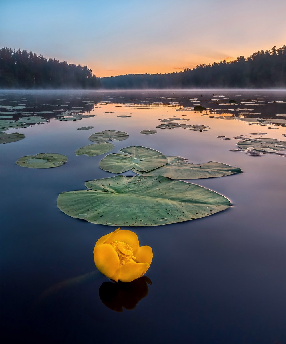 цветы, кубышка, озеро, рассвет, ленинградская область., Лашков Фёдор