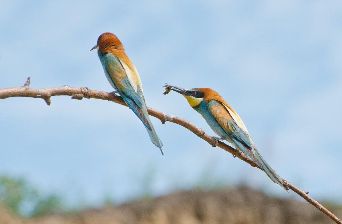 птицы золотистые щурки, Михаил Агеев