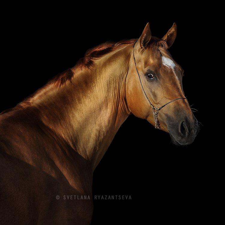 horse, head, portrait, red, look, black, background, isolated, лошадь, портрет, Svetlana Ryazantseva