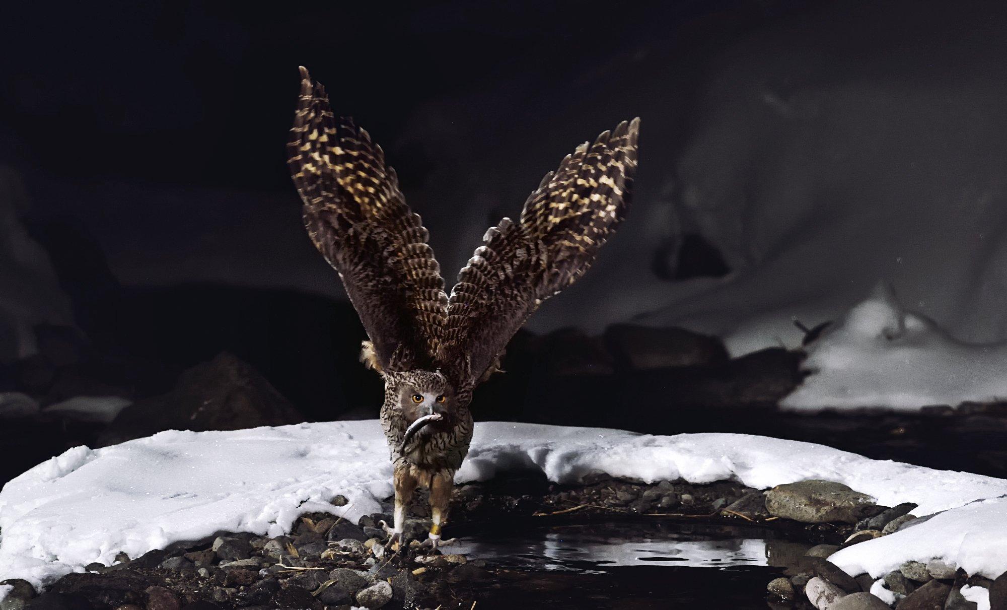 blakistons fish owl, KIM SUK EUN
