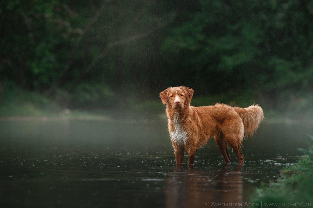собака, природа, дождь, Анна Аверьянова
