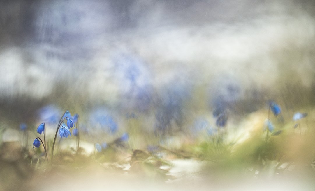 пролески, свет, краски, весна, апрель, цветы, акварель, воронеж,, Геннадий Мещеряков