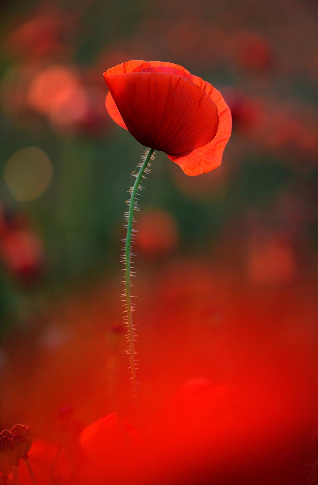 цветок мак флора красный закат контровый свет зеленый, Алёна Шевцова