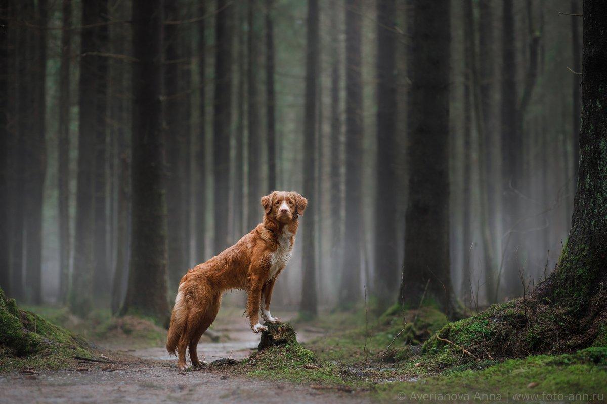 собака, туман, лес, природа, Анна Аверьянова