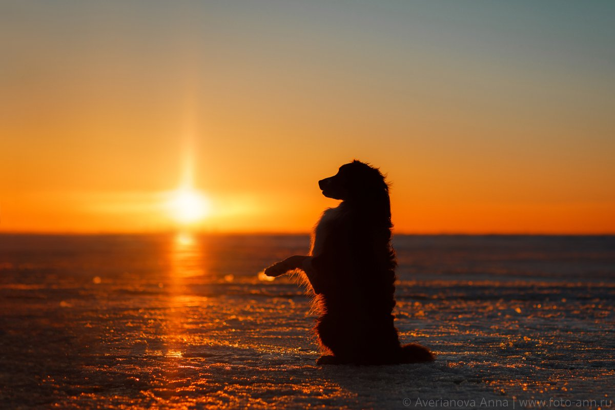 собака, закат, зима, Анна Аверьянова