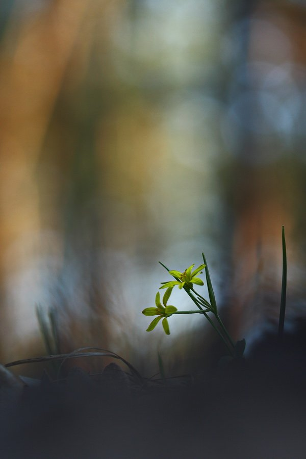 гусиный, лук, жёлтый, gagea, lutea, самарский лес, Сергій Марков