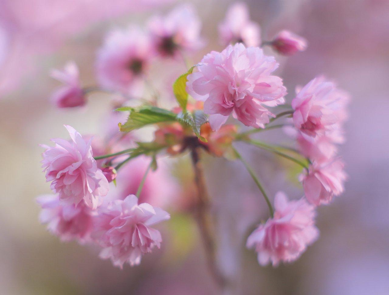 весна, цвет, цветение, Виктор Климкин