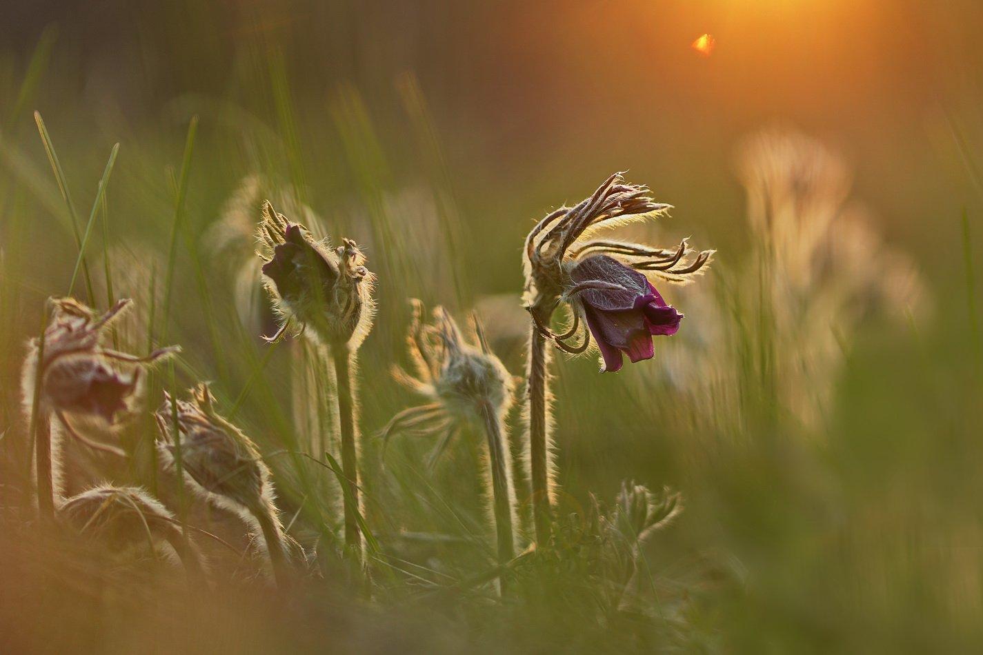 pratensis, pulsatilla, лесопарк дружбы народов, луговой, прострел, чернеющий, сон-трава, Сергій Марков