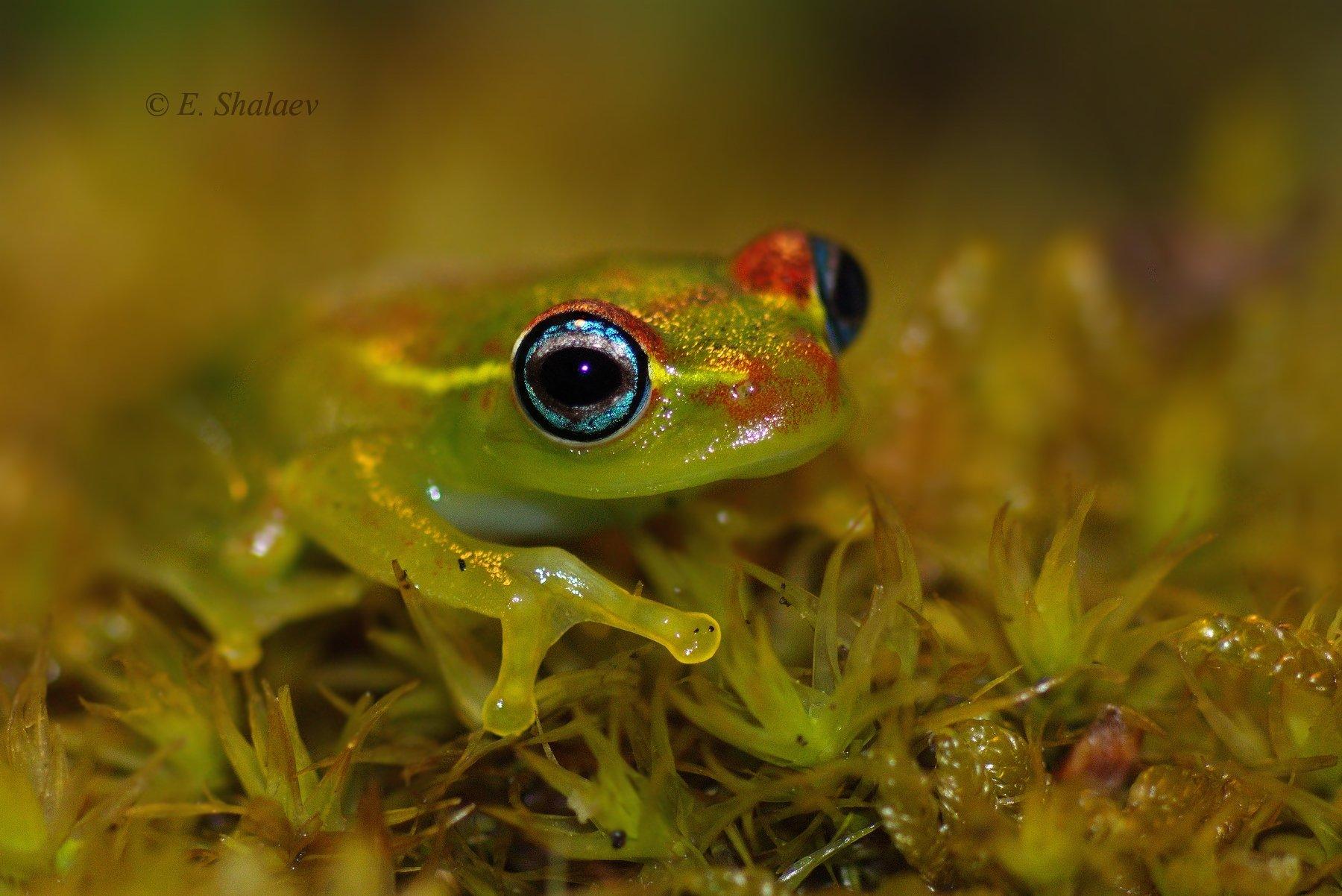 boophis viridis,frog, green bright-eyed frog,амфибии,боофис,веслоног зелёный, веслоног,лягушка, Евгений