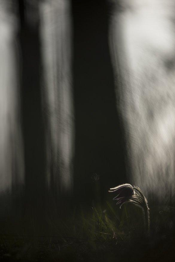 простлел, цветы, свет, цвет, сон трава, лес, весна, апрель, краски. маклок, воронеж, Геннадий Мещеряков