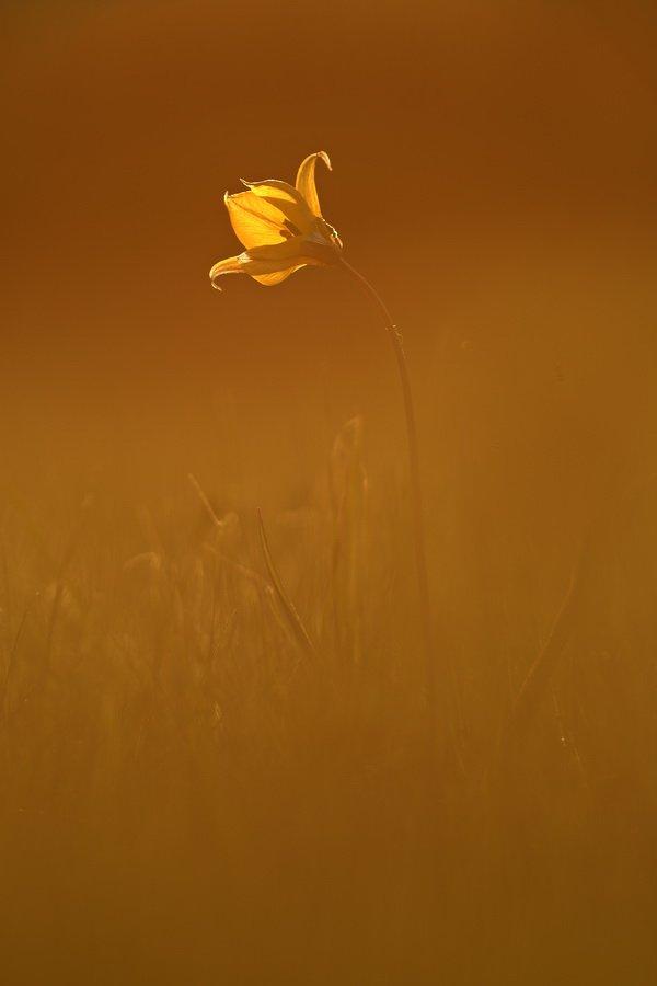 тюльпан, дубравный, tulipa, biebersteiniana, самарский лес, Сергій Марков