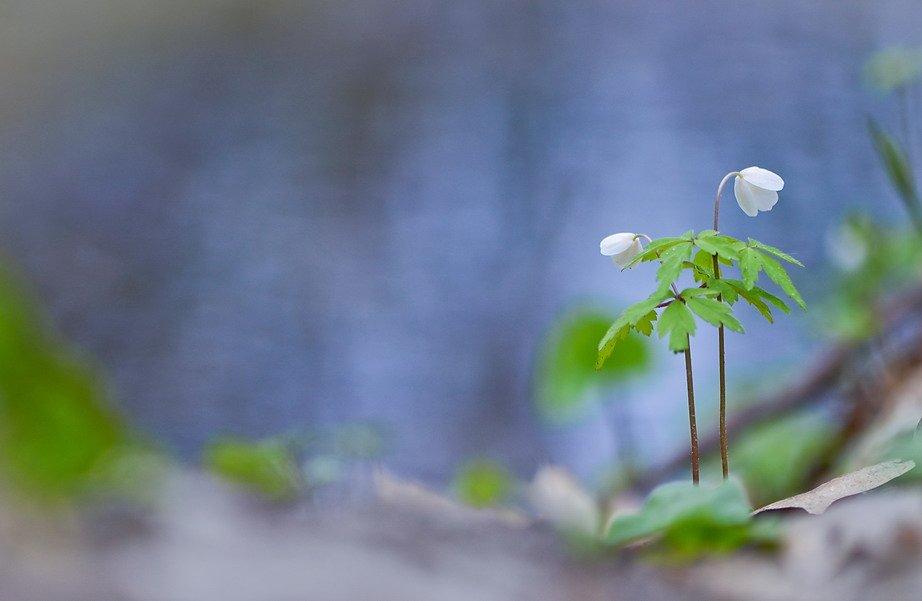 весна, любовь, цветы, ветреница, Марина Мищенко