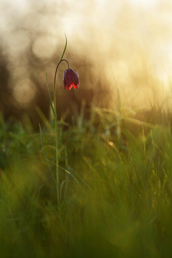 рябчик, малый, fritillaria, meleagroides, самарский лес, Сергій Марков