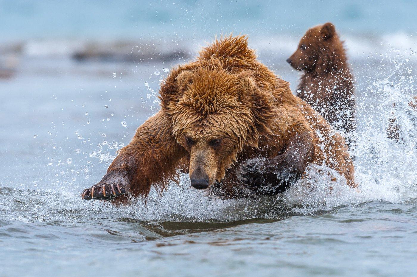 камчатка, бурый медведь,курильское озеро, сергей иванов, Сергей Иванов