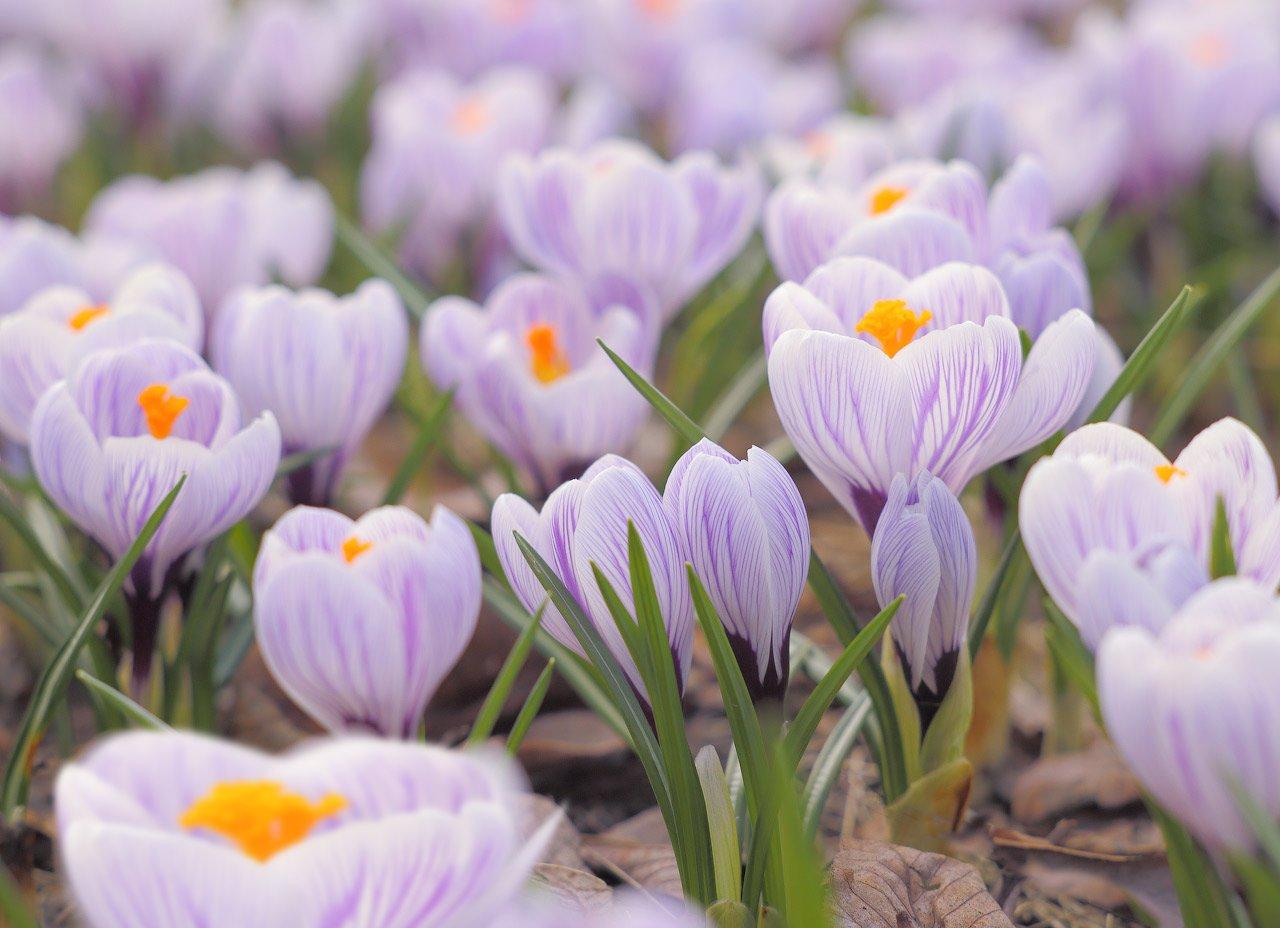 весна, цветы, крокусы, Виктор Климкин