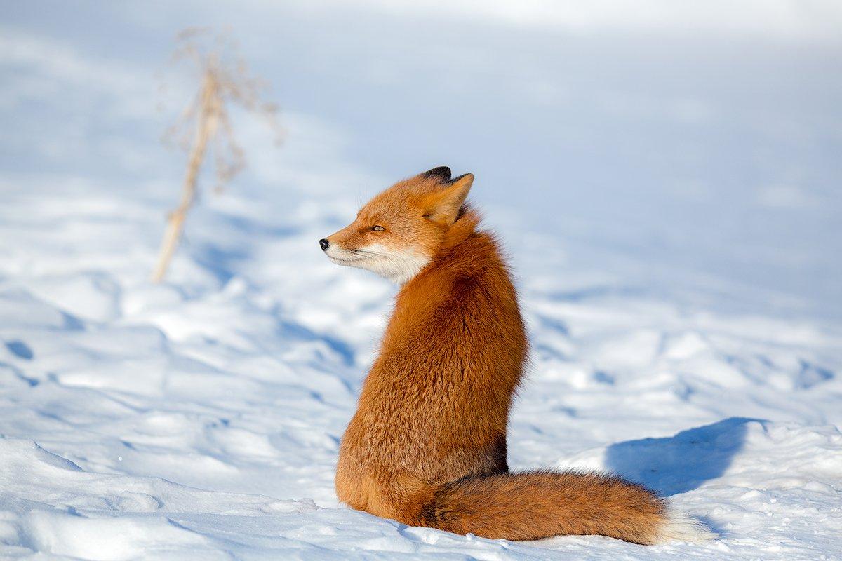 камчатка, лиса, животные, природа, путешествие, зима,, Денис Будьков