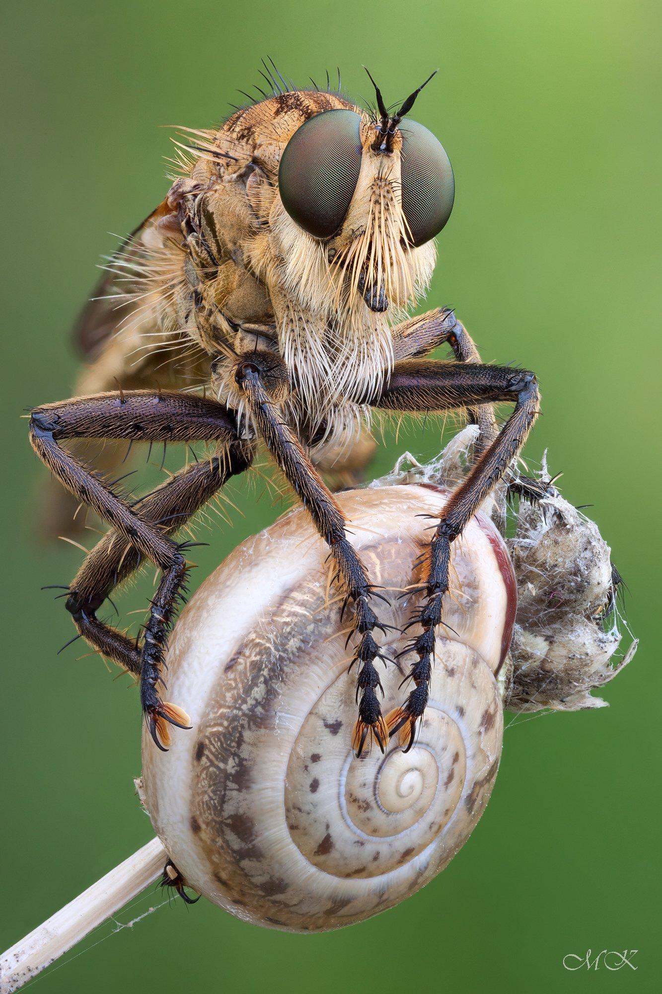 ктырь, robber fly, asilidae, Miron Karlinsky