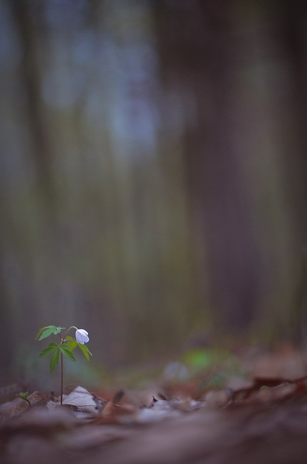 лес, весна, цветы, ветреница, Марина Мищенко