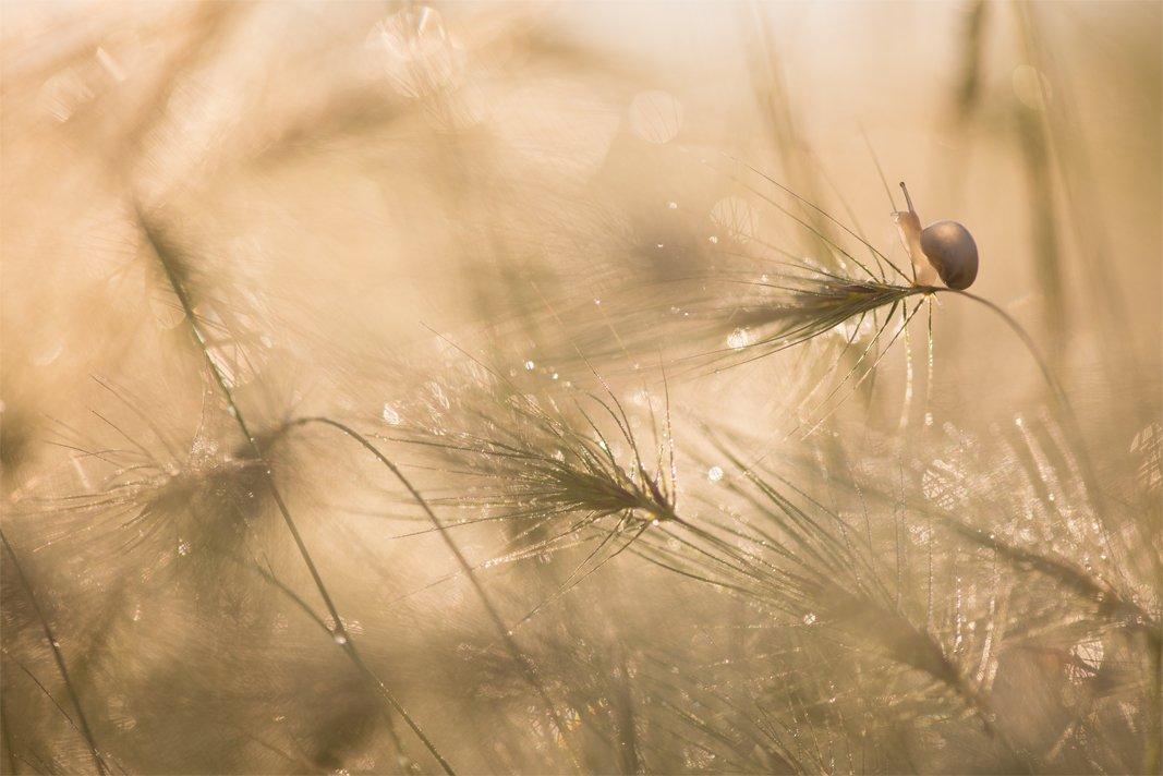 улитка, метёлки, травка, утро, свет, красота, краски,, Геннадий Мещеряков