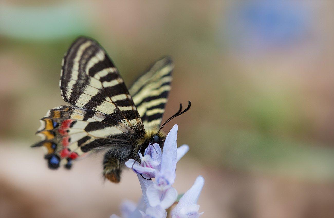людорфия пуцило бабочка парусник, Evgeny Slobodskoy