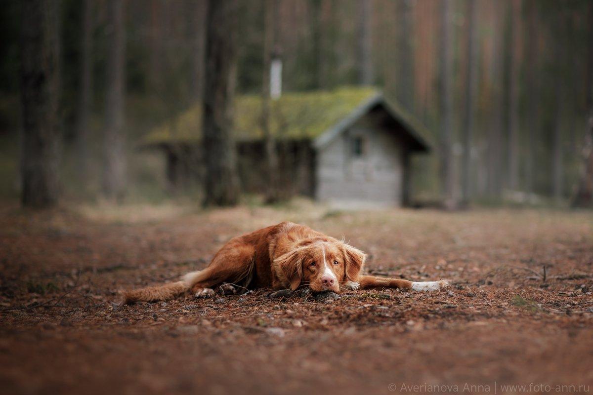 собака, природа, лес, домик, Анна Аверьянова