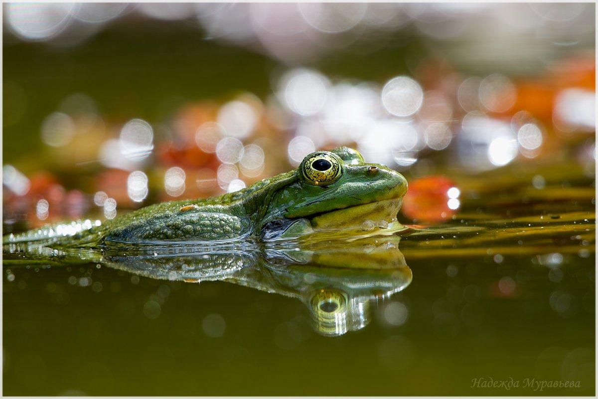 озёрная лягушка, pelophylax ridibundus, Надежда Муравьёва