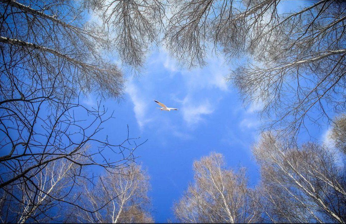 белая птица, березы, небо. весна, Александр Волобуев
