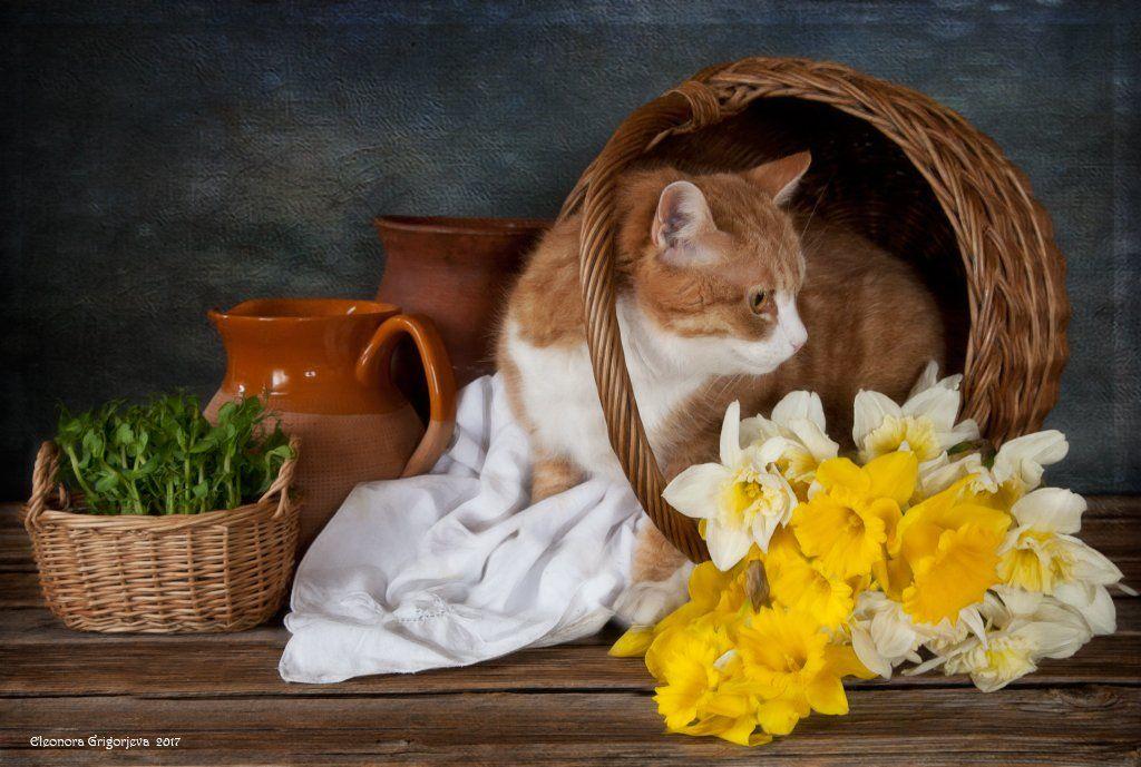 натюркотики, натюрморт, весна, рыжая кошка, нарциссы, корзинка, Eleonora Grigorjeva