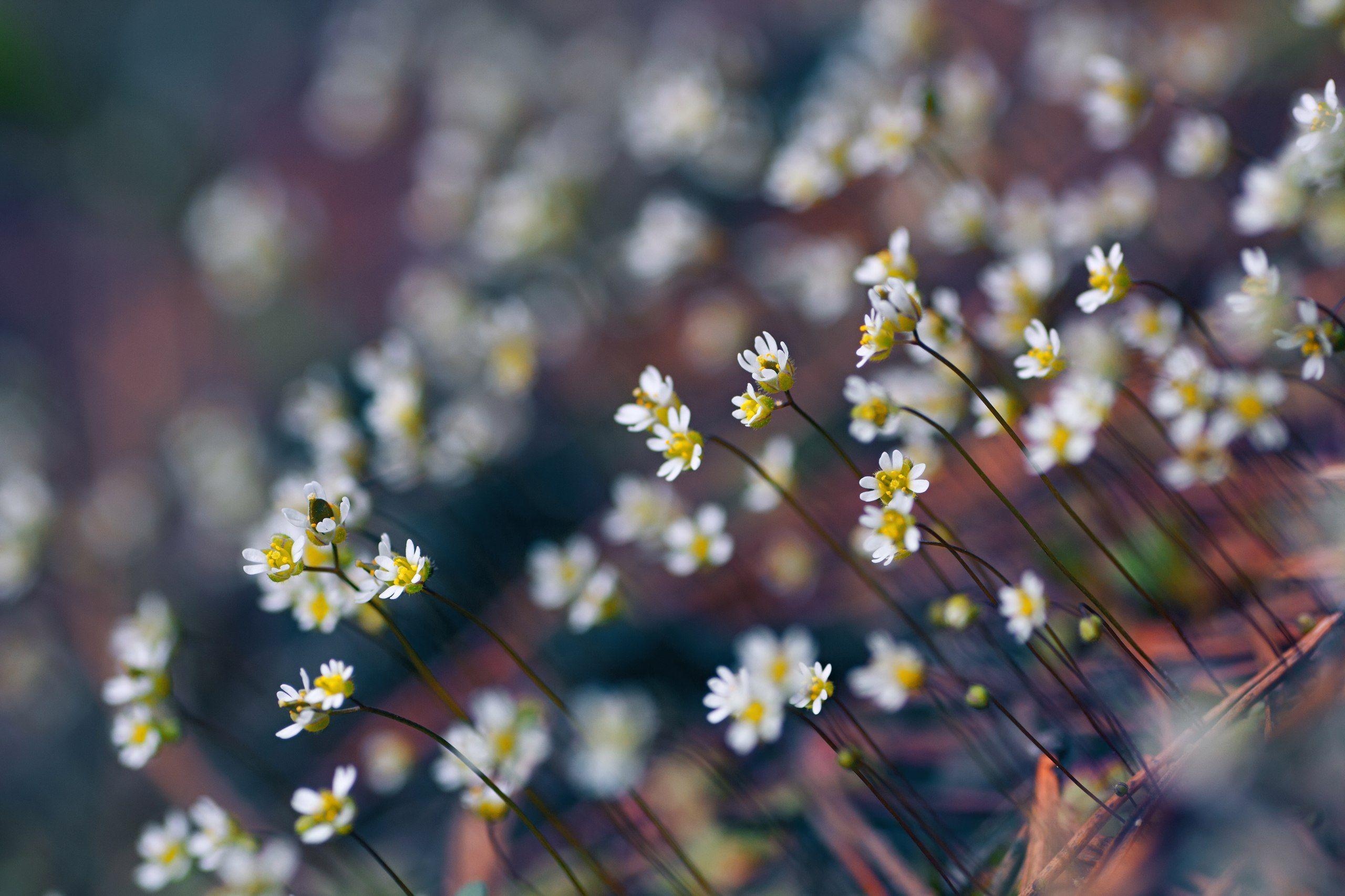 цветы, белый, свет, радуга, блики, весна, Котов Юрий