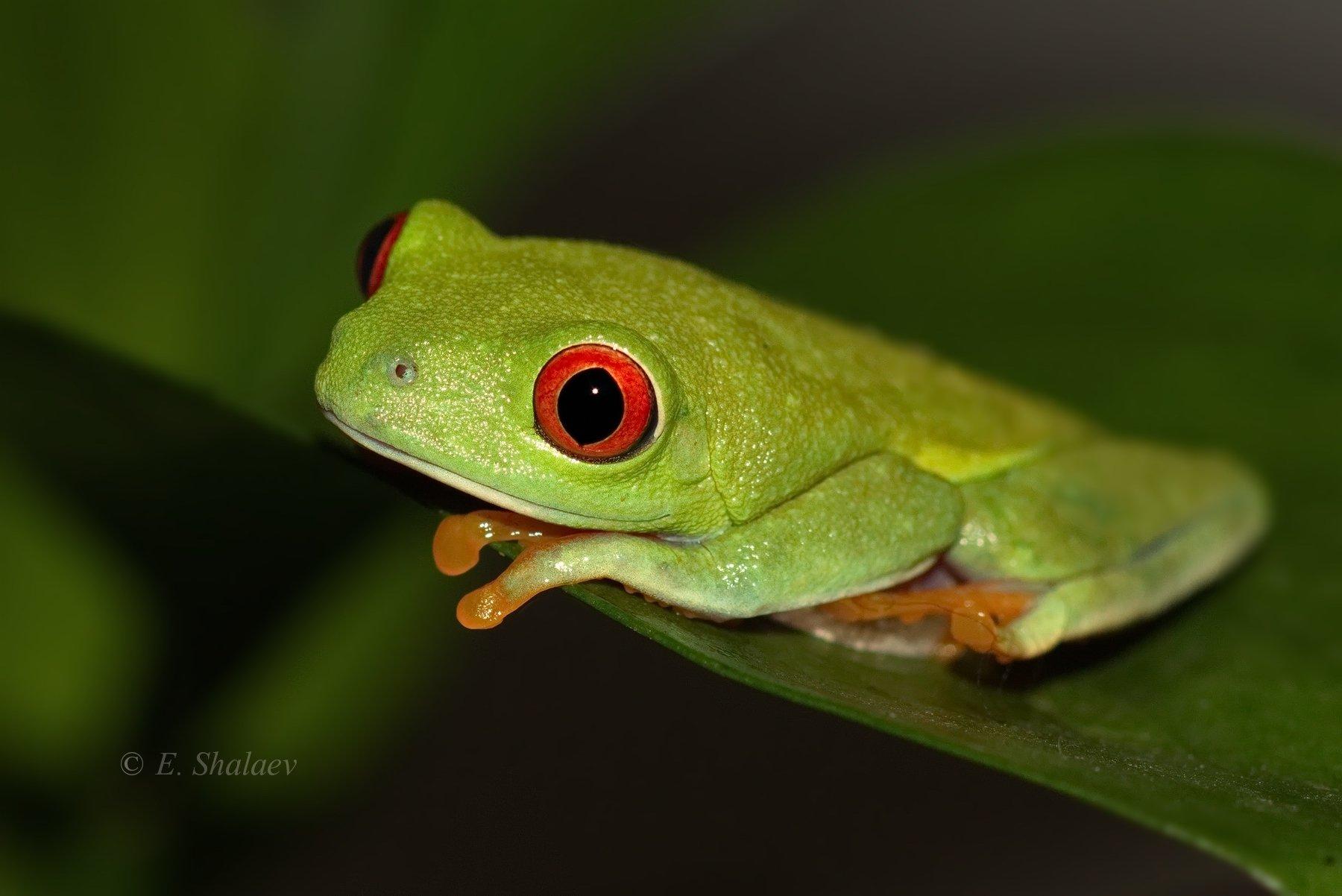 agalychnis callidryas,frog,red-eyed tree frog,амфибии,квакша,красноглазая квакша,лягушка, Евгений
