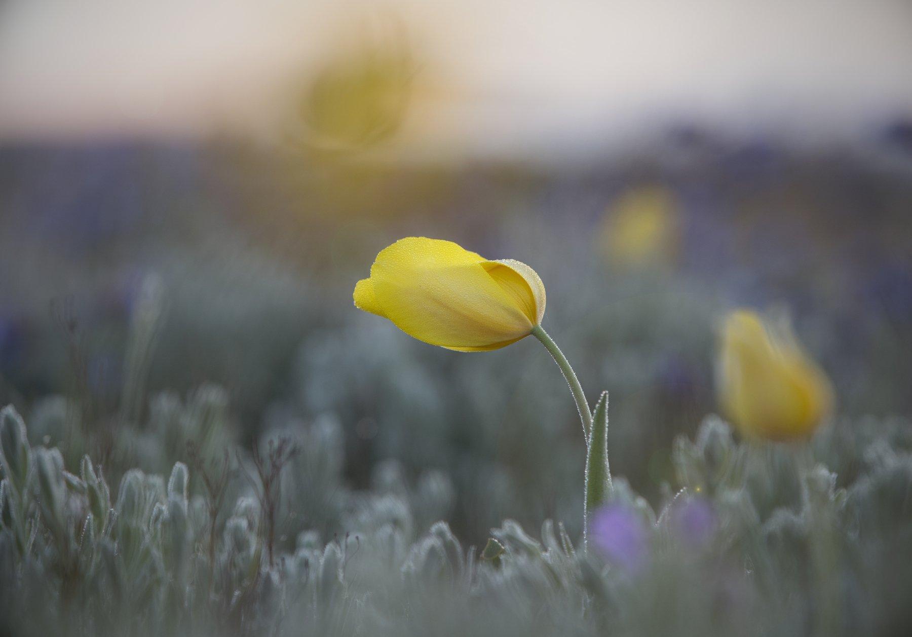 пейзаж, макро,тюльпан,шренка,дикий,туман,опук,крым,трава,желтый,зеленый,поле,россия,природа,цветы, Elena Pakhalyuk