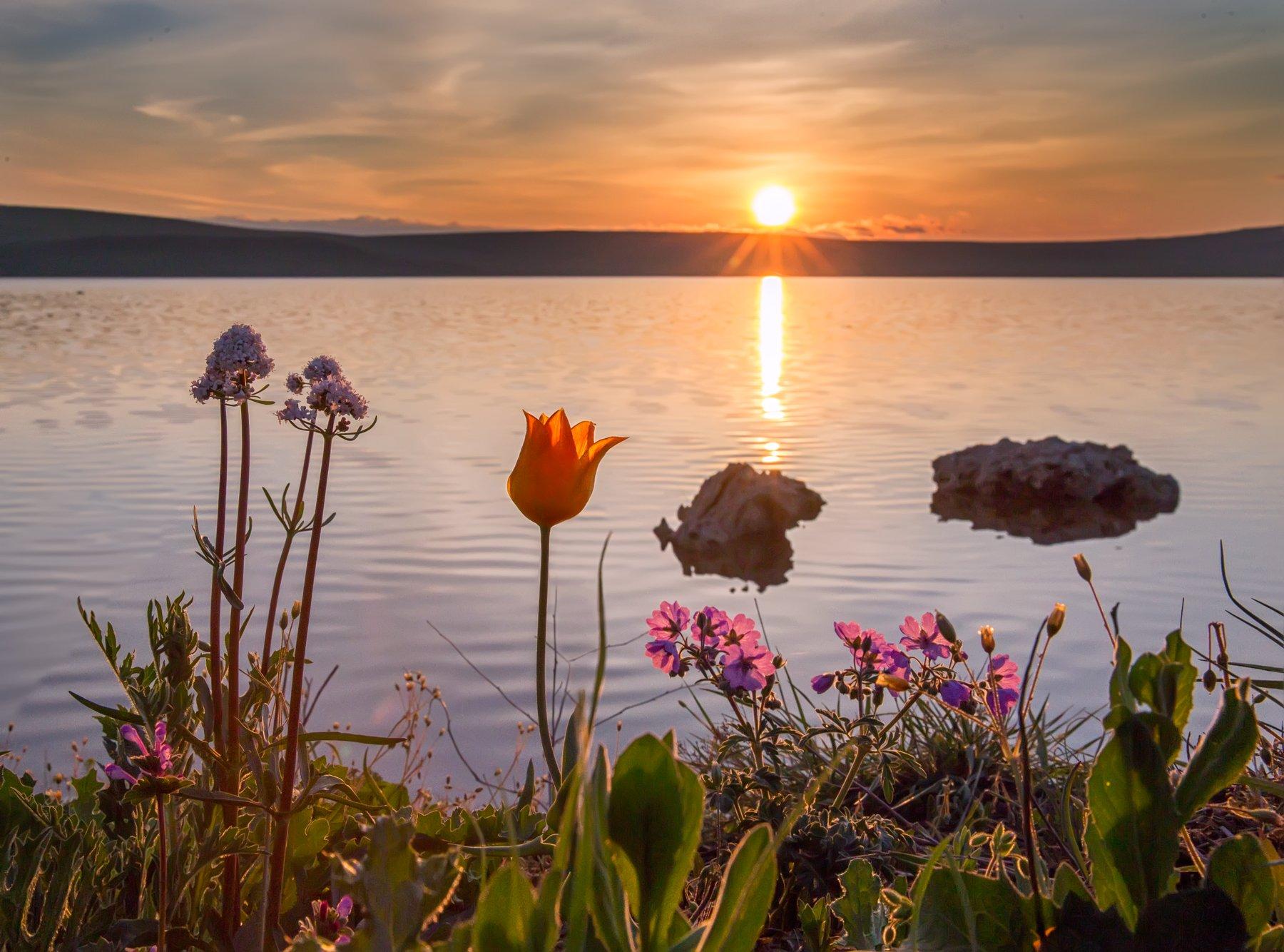 рассвет,озеро,кояшское,опук,заповедник,камни,побережье,цветы,тюльпан,природа,трава,желтый,розовый,солнце,облака,вода,пейзаж,россия,лучи,холм,горизонт, Elena Pakhalyuk
