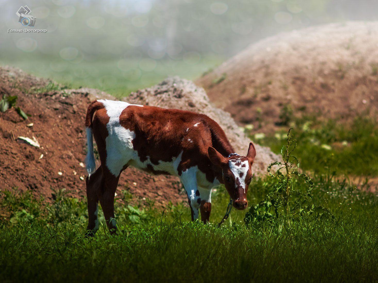 корова, тёлка, животные, пастбище, луг, ферма, рябушка, Галя