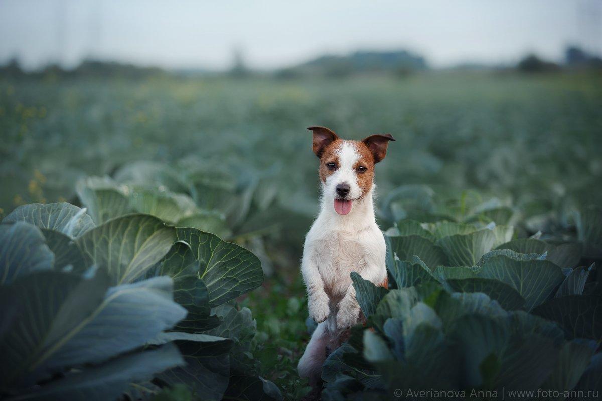 собака, капуста, лето, Анна Аверьянова