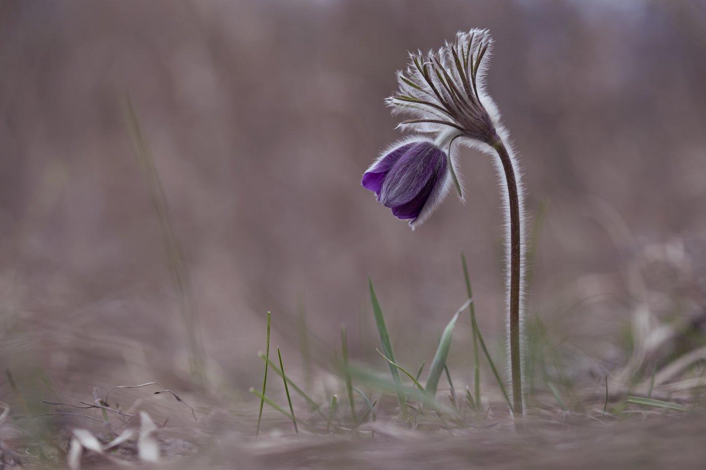 сон-трава,  прострел, первоцветы, весна, Леонид