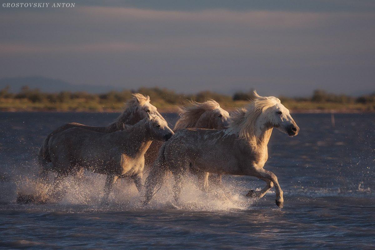 Камарг, Франция, лошади, жеребцы, Camargue, кони, Антон Ростовский