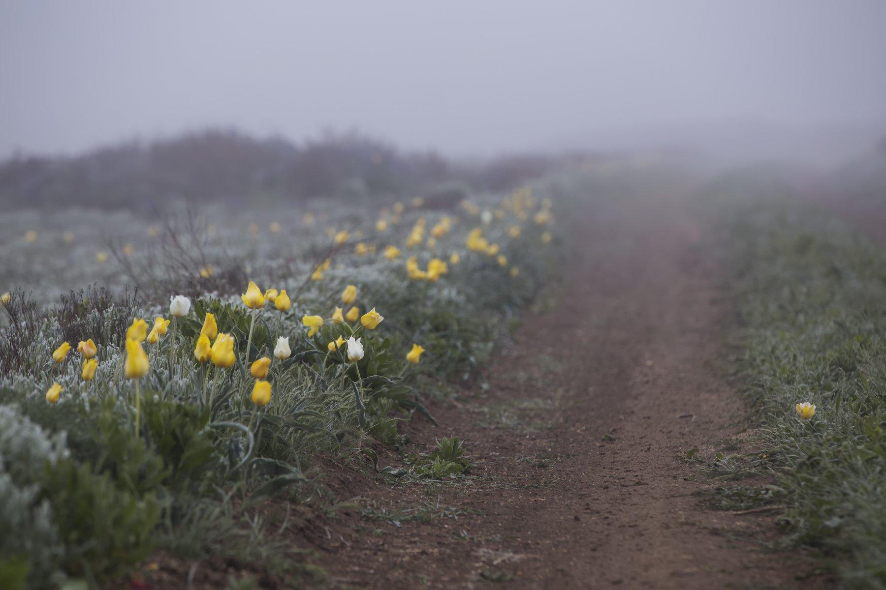 дорога,проселок,дикий,тюльпан,тюльпаны,туман,трава,желтый,зеленый,опук,крым,россия,заповедник,пейзаж,цветы,природа, Elena Pakhalyuk