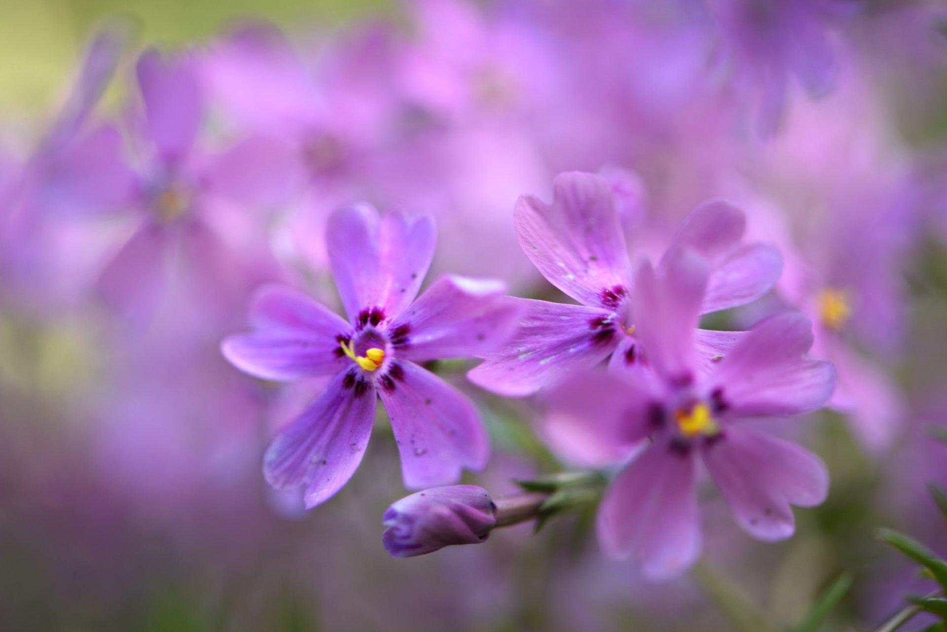 природа, макро, весна, цветы, флокс шиловидный, Неля Рачкова