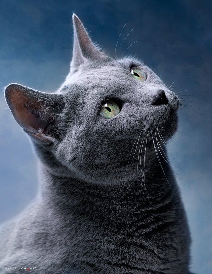 кошка, русская, голубая, Nailia