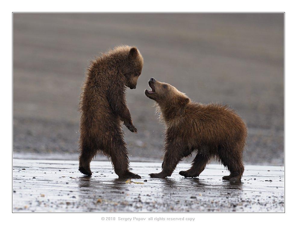 медвежата, аляска, отношения, медведи, дикая природа, Попов Сергей